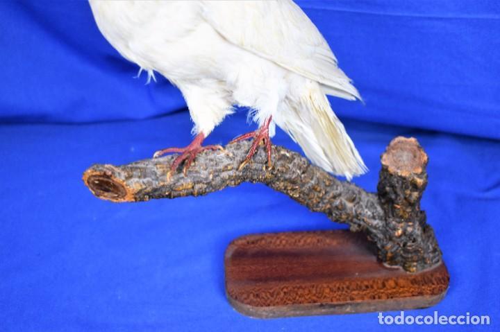 Antigüedades: Antigua paloma en taxidermia - Foto 3 - 269033489
