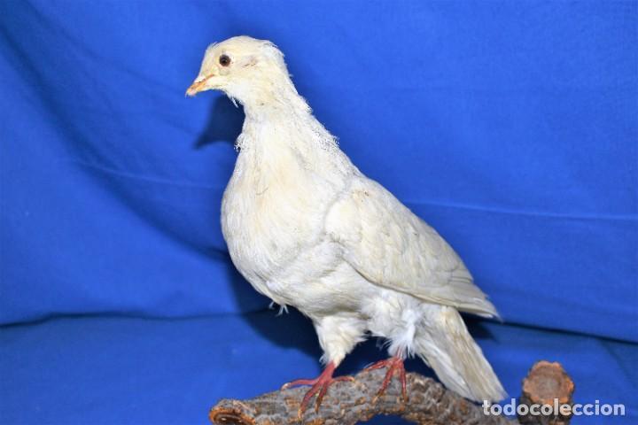 Antigüedades: Antigua paloma en taxidermia - Foto 4 - 269033489