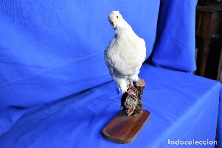 Antigüedades: Antigua paloma en taxidermia - Foto 5 - 269033489