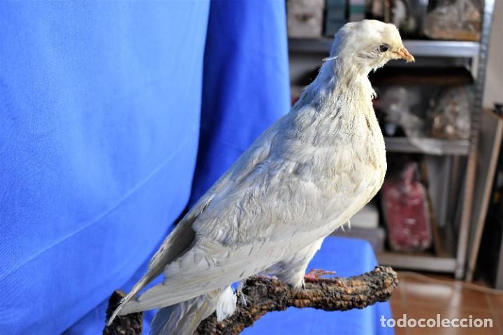 Antigüedades: Antigua paloma en taxidermia - Foto 7 - 269033489