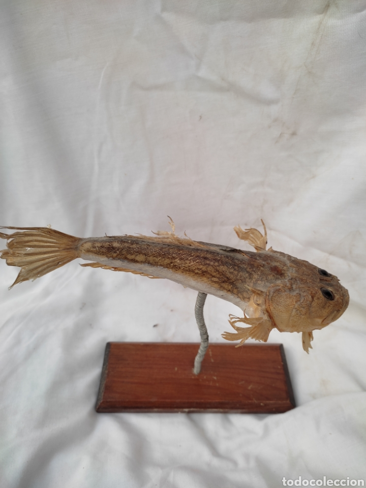 Antigüedades: Pez rata disecado taxidermia museo Areny plaza real barcelona material historia natural - Foto 3 - 288985898