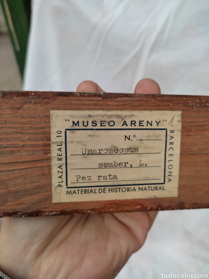 Antigüedades: Pez rata disecado taxidermia museo Areny plaza real barcelona material historia natural - Foto 4 - 288985898