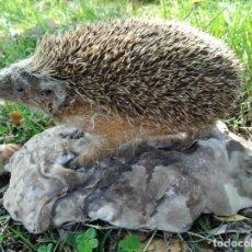 Antigüedades: ERIZO - TAXIDERMIA TROFEO DE CAZA - ANIMAL DISECADO ANTIGUO.. Lote 293623893
