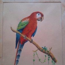 Arte: ACUARELA DE LORO FIRMADA ARANTEGUI. 25 X 18 CMS.. Lote 43791671