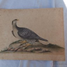 Arte: MAGNIFICA ACUARELA DE SIGLO XVIII-XIX,ESCUELA NATURALISTA AGUILA. Lote 50153016