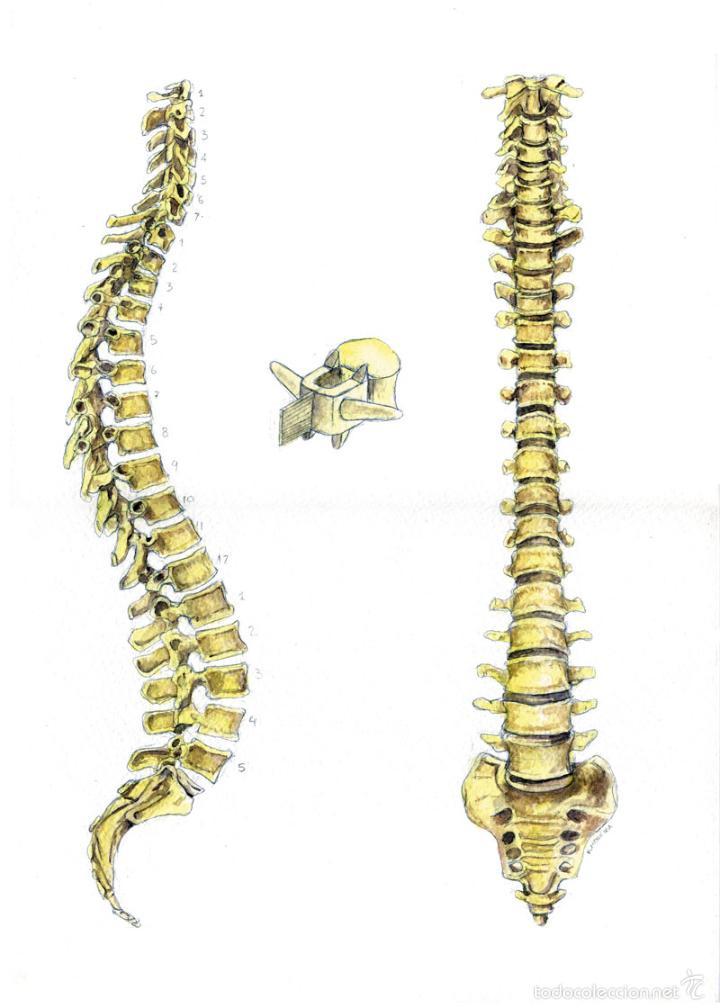 columna vertebral. acuarela sobre papel. anatom - Comprar Acuarelas ...