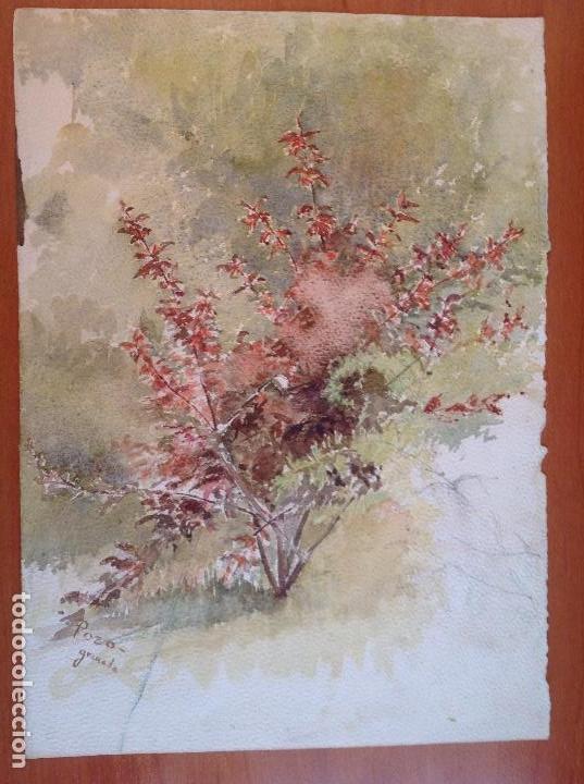POZO. ESTUDIO DE UNA PLANTA (Arte - Acuarelas - Contemporáneas siglo XX)