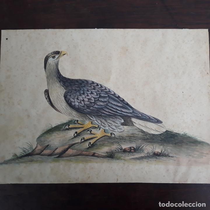 ACUARELA NATURALISTA FINALES DEL XVIII (Arte - Acuarelas - Antiguas hasta el siglo XVIII)