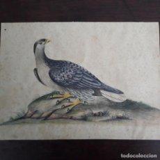 Arte: ACUARELA NATURALISTA FINALES DEL XVIII. Lote 197582060