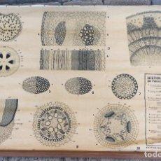 Arte: MAPA DE ESCUELA HISTOLOGIA DE TALLO. Y RAIZ AÑOS 60-IDEAL COLECCIONISTAS. Lote 154389542