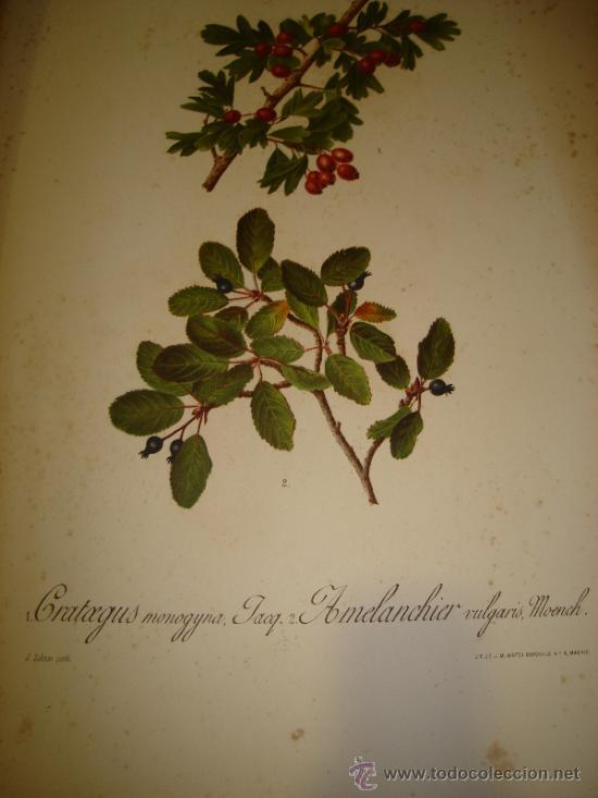 LÁMINA CROMOLITOGRÁFICA FLORES,PLANTAS,BOTÁNICA,PINTOR SALINAS,LIT.MATEU,AMELANCHIER 76, 35X50CM (Arte - Cromolitografía)
