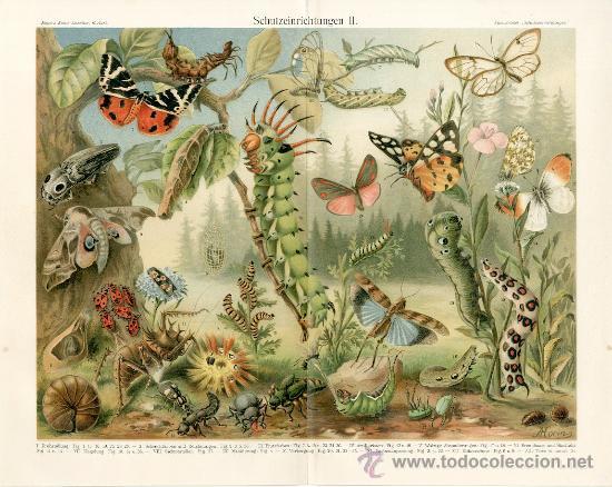 UXG MARIPOSAS SALTAMONTES LARVAS ANTIGUA Y ORIGINAL CROMOLITOGRAFIA ALEMANA DEL 1894 LITO GRABADO (Arte - Cromolitografía)