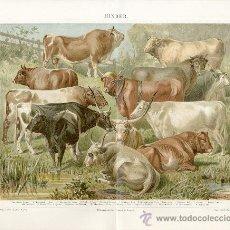 Art: UXG RAZAS GANADO VACUNO ANTIGUA Y ORIGINAL CROMO LITOGRAFIA ALEMANA DEL 1887 LITO GRABADO TORO VACA. Lote 38995136