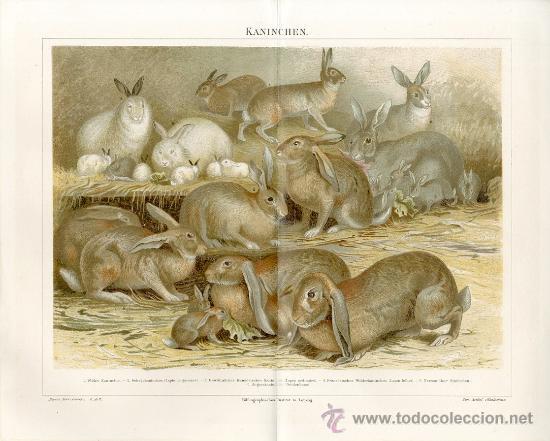 UXG RAZAS DE CONEJOS ANTIGUA Y ORIGINAL CROMO LITOGRAFIA ALEMANA DEL 1887 LITO GRABADO BELIER (Arte - Cromolitografía)