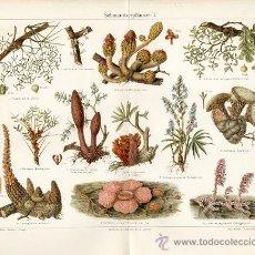 Arte: UXG PLANTAS PARASITAS Y SU FLOR ANTIGUA Y ORIGINAL CROMO LITOGRAFIA ALEMANA DEL 1894 LITO GRABADO. Lote 39048976