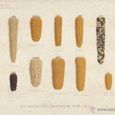 Arte: LOTE DE 2 CROMOLITOGRAFÍAS. MAZORCAS DE MAIZ. REVISTA AGRÍCOLA Y VITÍCOLA. 1910. 23,5 X 15,5 CMS.. Lote 47694820