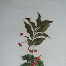 Arte: BOTANICA.CROMOLITOGRAFIA Nº 57 'FLORA FORESTAL ESPAÑOLA' JUSTO DE SALINAS.1890.50X34 ¡¡¡MUY RARA!!. Lote 60580915