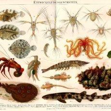 Arte: ADAPTACIÓN AL MEDIO FORMAS EVOLUTIVAS DE LA VIDA MARINA DARWINISMO BIOLOGÍA MARINA ZOOLOGÍA. Lote 112251227