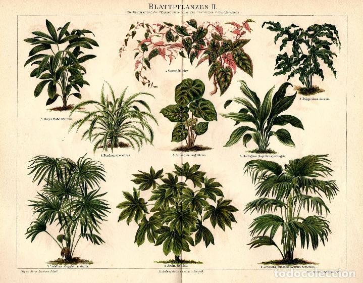 PLANTAS DE HOJA FLORA VEGETACIÓN BOTÁNICA CIENCIAS NATURALES CROMOLITOGRAFÍA ORIGINAL SIGLO XIX (Arte - Cromolitografía)