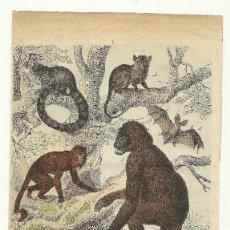 Arte: ZOOLOGÍA MAMÍFEROS SIMIOS CROMOLITOGRAFÍA E. HOCHDANZ 1880. Lote 120232803