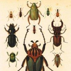 Arte: CROMOLITOGRAFIA ORIGINAL SIGLO XIX- ENTOMOLOGIA - FAUNA - ESCARABAJOS -. Lote 127118863