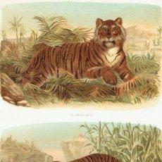 Arte: CROMOLITOGRAFIA ORIGINAL SIGLO XIX- FAUNA - MAMIFEROS - TIGRES - . Lote 127118983