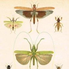 Arte: CROMOLITOGRAFIA ORIGINAL SIGLO XIX- ENTOMOLOGIA - INSECTOS - MANTIS - GRILLO - LANGOSTA - . Lote 127119363