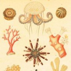 Arte: CROMOLITOGRAFIA ORIGINAL SIGLO XIX- FAUNA - BIOLOGIA - INVERTEBRADOS - . Lote 127120803