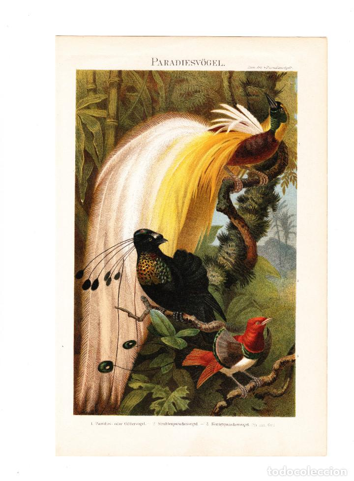 AVES DEL PARAÍSO PARADISAEIDAE AVES AUTÓCTONAS DE NUEVA GUINEA ORNITOLOGÍA (Arte - Cromolitografía)