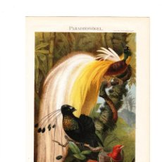 Arte: AVES DEL PARAÍSO PARADISAEIDAE AVES AUTÓCTONAS DE NUEVA GUINEA ORNITOLOGÍA. Lote 160100770