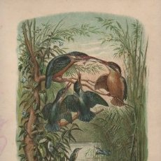 Arte: CROMOLITOGRAFIA DE ANIMALES: AVES. GRUPO DE ALCEDINIDOS. OBRA LA CREACION G-ANIM-020. Lote 168911836