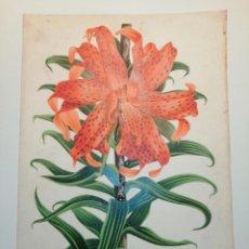 Arte: LILIUM TIGRINUM FLORE PLENO, JAPON. BOTÁNICA. HORTO VAN HAUTTEANO, 889. 25X17 CM. CA 1870. Lote 237255985