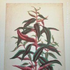 Arte: PÉCHER Á FEUILLES ROUGES , ETATS UNITS . BOTÁNICA. HORTO VAN HAUTTEANO, 933. 25X17 CM. CA 1870. Lote 237256240