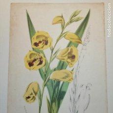 Arte: GLADIOLUS PURPUREO-AURATUS , NATAL . BOTÁNICA. HORTO VAN HAUTTEANO, 932. 25X17 CM. CA 1870. Lote 237256370