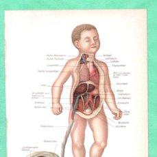 Arte: MEDICINA ANATOMÍA EL CORDÓN UMBILICAL CROMOLITOGRAFÍA DIE FRAU ALS HAUSÁRZTIN A.F.-DÜCKELMANN. Lote 256016655