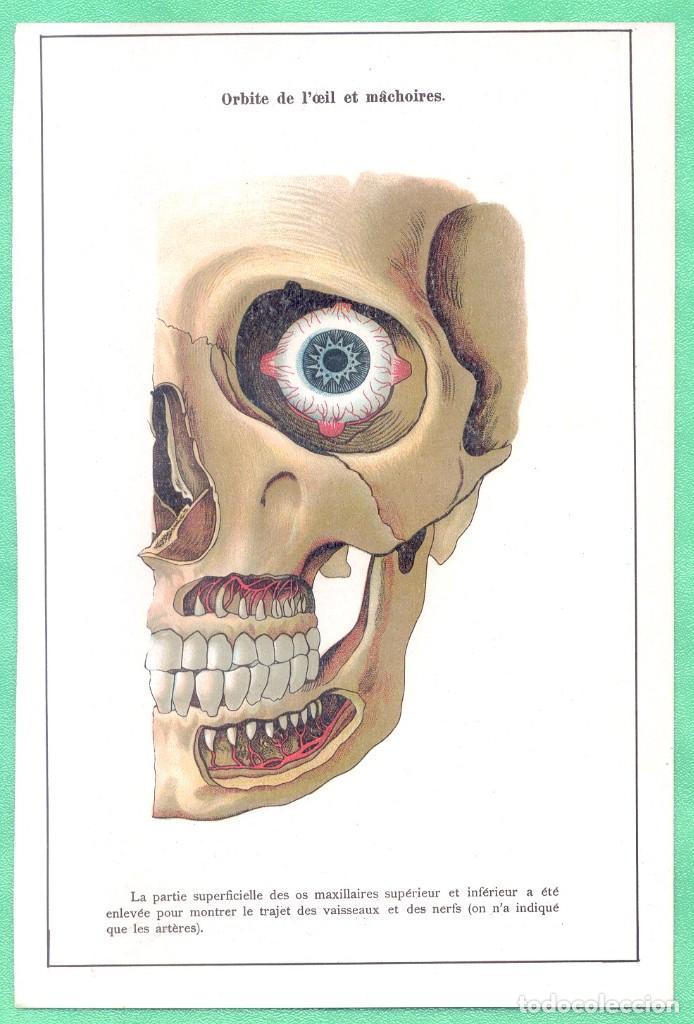 MEDICINA ANATOMÍA MANDÍBULA Y ÓRBITA DE LOS OJOS CROMOLITOGRAFÍA 1900 (Arte - Cromolitografía)