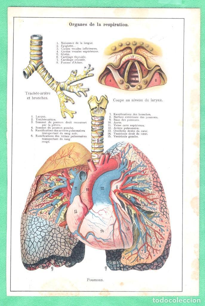 MEDICINA ANATOMÍA ÓRGANOS DE LA RESPIRACIÓN CROMOLITOGRAFÍA 1900 (Arte - Cromolitografía)