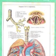 Arte: MEDICINA ANATOMÍA ÓRGANOS DE LA RESPIRACIÓN CROMOLITOGRAFÍA 1900. Lote 256027145