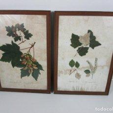 Arte: PAREJA DE LAMINAS CROMOLITOGRÁFICAS - FLORES, PLANTAS, BOTÁNICA - PINTOR J. SALINAS -LIT. J.M. MATEU. Lote 296578648
