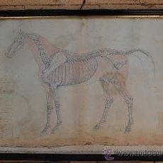 Arte: DIBUJO DE LA OSTEOLOGIA DEL CABALLO. Lote 35601985
