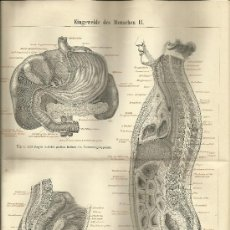 Arte: UXG APARATO DIGESTIVO LATERAL ANTIGUO Y ORIGINAL GRABADO ALEMANIA 1887 ANATONOMIA INTERNA HUMANA. Lote 39042600