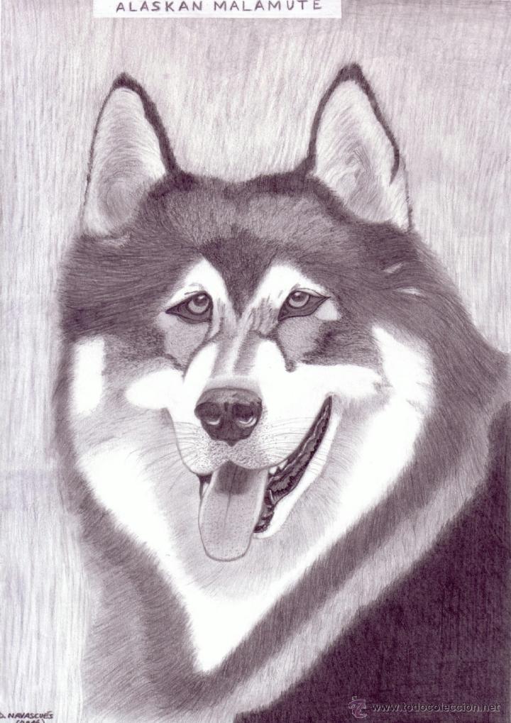 dibujo hiperrealista perro  alaskan malamut  Comprar Dibujos