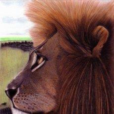 Arte: DIBUJO HIPERREALISTA (ANIMALES VARIOS). * LEÓN CONTROLANDO TERRITORIO * (TM). DE D. NAVASCUÉS. Lote 79911537