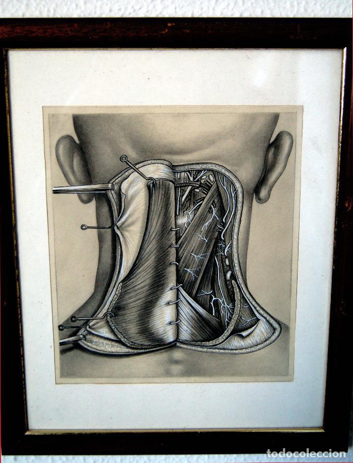 dibujo disección anatómica anatomía arte anatóm - Comprar Dibujos ...