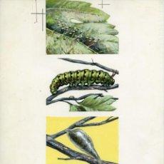 Arte: 4 DIBUJOS ORIGINALES DE MARIPOSA Y CAPULLO, PARA SANTILLANA. SOBRE CARTULINA. Lote 164588734