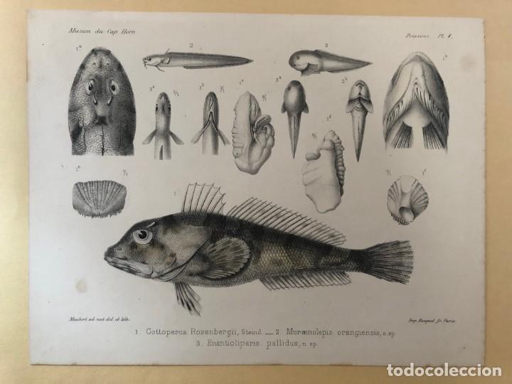 HISTORIA NATURAL. LITOGRAFÍA COLOREADA. MISSION DU CAP HORN. 1882-1883 (Arte - Dibujos - Modernos siglo XIX)
