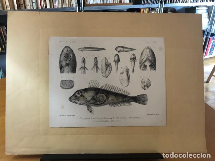 Arte: HISTORIA NATURAL. LITOGRAFÍA COLOREADA. MISSION DU CAP HORN. 1882-1883 - Foto 2 - 195269680