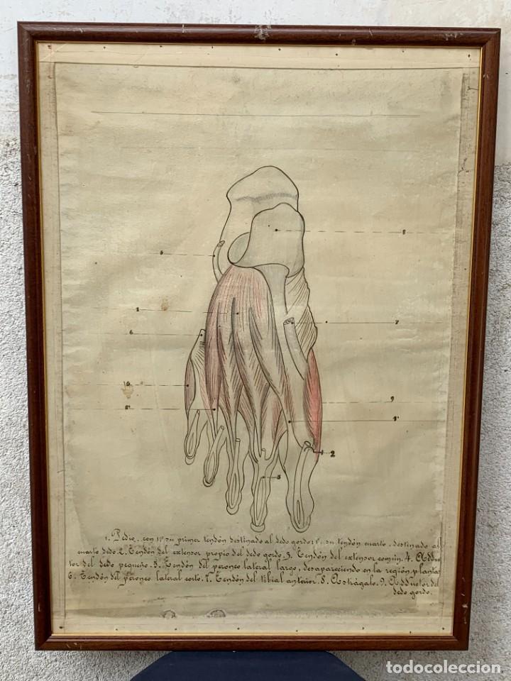 DIBUJO ESCUELA ESTUDIO MEDICINA FARMACIA ANATOMIA PIE LEYENDA PPIO S XX 73X52CMS (Arte - Dibujos - Contemporáneos siglo XX)