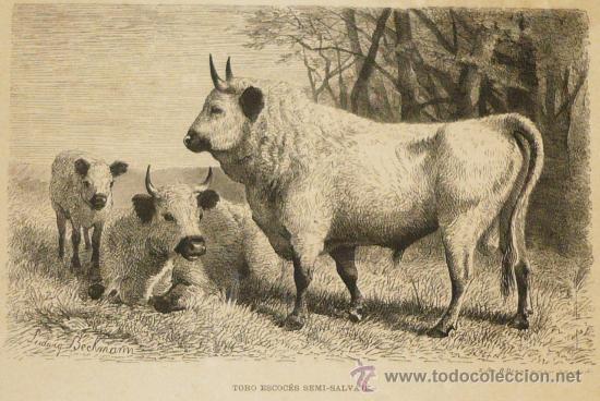 ANTIGUO GRABADO DE 1880 TORO ESCOCÉS SEMISALVAJE DE LA VIDA DE LOS ANIMALES (DR A BREHM) RIUDOR Y Cª (Arte - Grabados - Antiguos hasta el siglo XVIII)