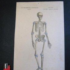 Arte: S XIX GRABADO ILUMINADO . ESQUELETO HUMANO HOMBRE . CIENCIAS NATURALES BUFFON. Lote 25218654